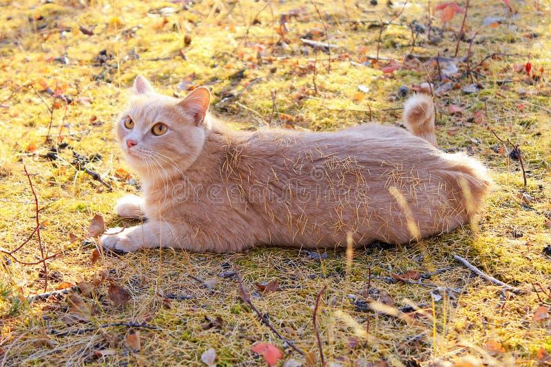 Gato rojo que miente en el media vuelta imágenes de archivo libres de regalías
