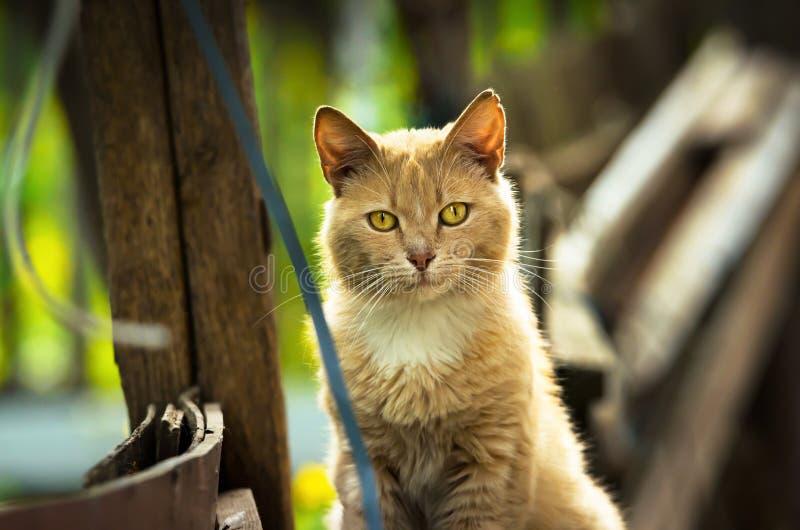 Gato rojo que mira derecho en el retrato de la cámara imagenes de archivo