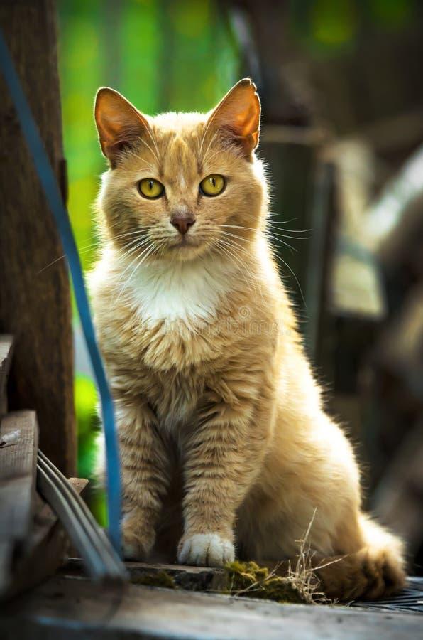 Gato rojo que mira derecho en el retrato de la cámara en una casa improvisada en el gato de la calle fotos de archivo