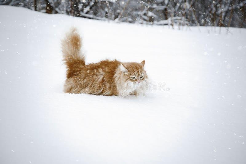 Gato rojo que se divierte en la nieve fotografía de archivo