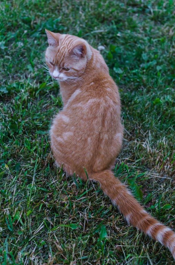 Gato rojo que se sienta con el suyo detrás dado vuelta en la hierba foto de archivo