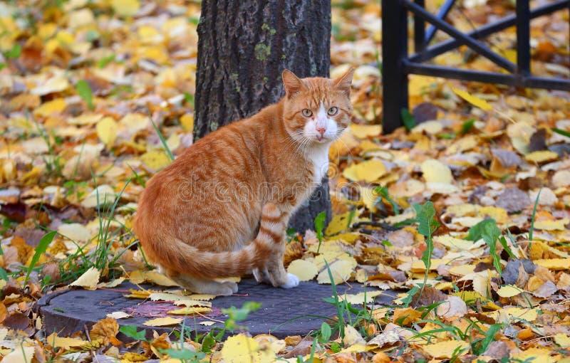 Gato rojo que se sienta en la tapa de la boca imagen de archivo