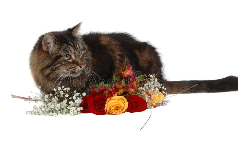 Gato romântico 3 fotos de stock royalty free