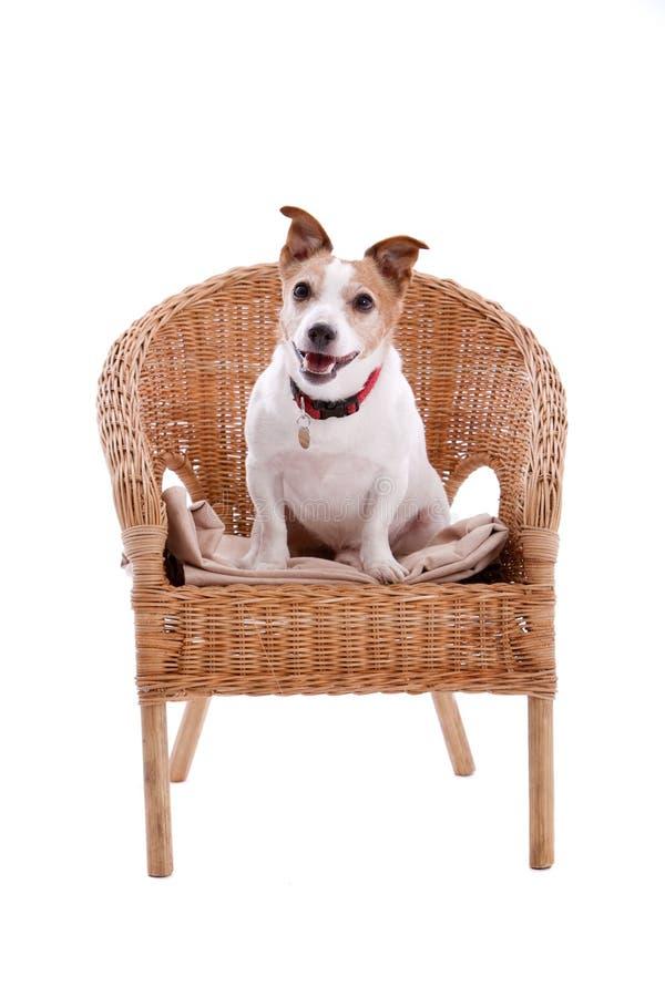 Gato Russel en una silla fotografía de archivo libre de regalías