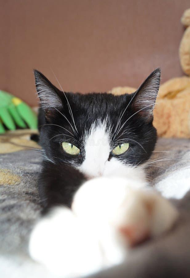 Gato sério preto e branco foto de stock royalty free