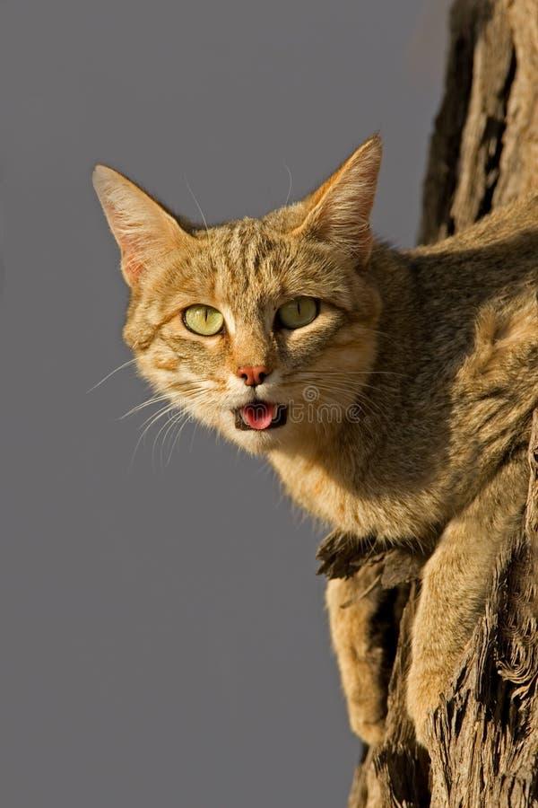 Gato salvaje africano fotografía de archivo libre de regalías