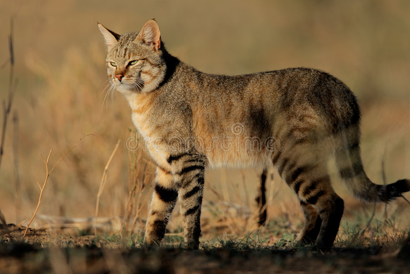 Gato salvaje africano imagen de archivo