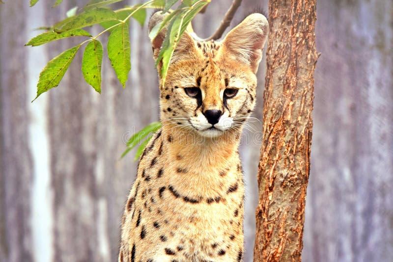 Gato salvaje del Serval de Leptailurus fotografía de archivo libre de regalías
