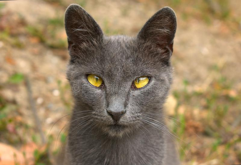 Gato salvaje gris con una mirada cercana El plan grande fotos de archivo
