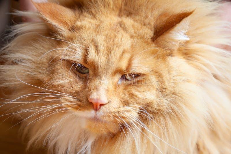 Gato sarcástico e engraçado do gengibre fotos de stock