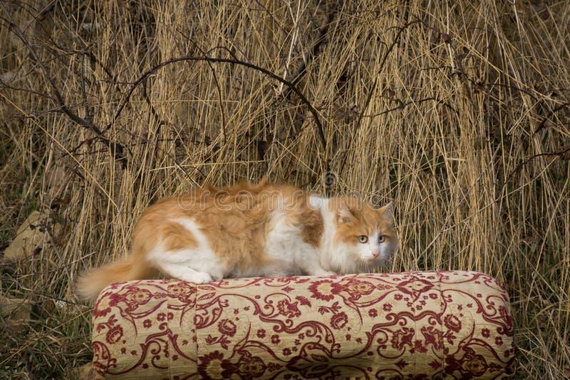 Gato Scared fotografia de stock royalty free
