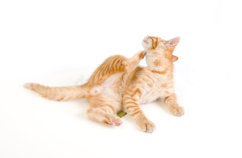 Gato Schratching su cabeza imágenes de archivo libres de regalías