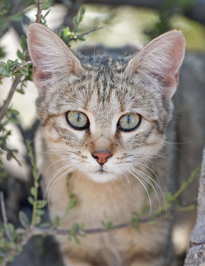 Gato selvagem africano fotografia de stock royalty free