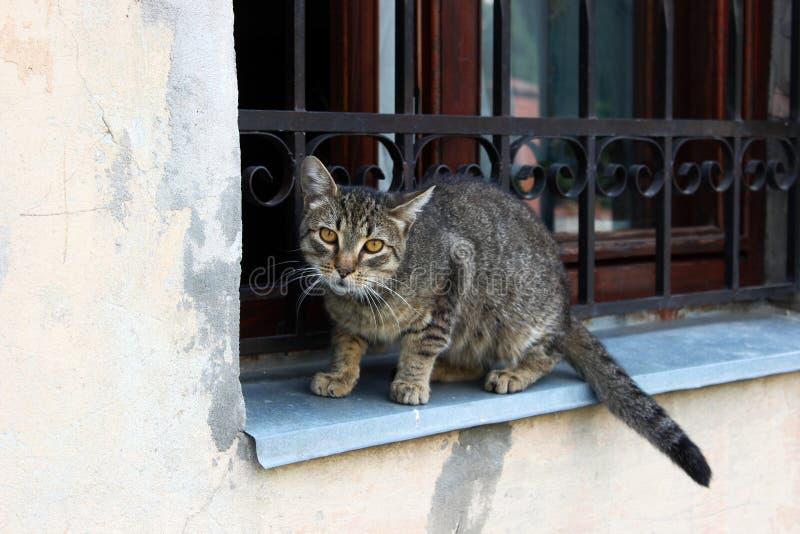 Gato selvagem de Lviv imagem de stock royalty free