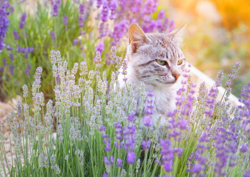 Gato selvagem na alfazema imagens de stock