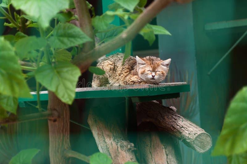 Gato selvagem pequeno que dorme no jardim zoológico foto de stock