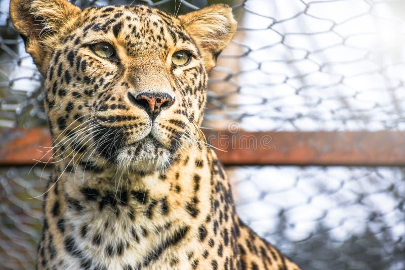 Gato selvagem prendido triste do leopardo travado dentro de uma gaiola do jardim zoológico que olha para fora para a liberdade fotografia de stock