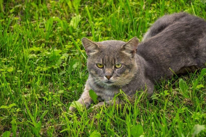 Gato selvagem que encontra-se no fundo da grama verde foto de stock royalty free