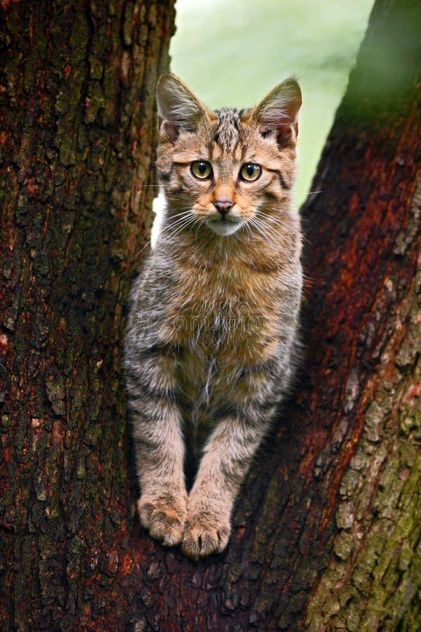Gato selvagem, silvestris do Felis, animal no habitat da floresta da árvore da natureza, a Europa Central imagens de stock royalty free