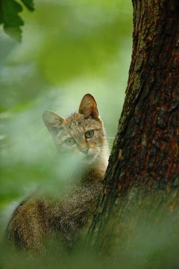 Gato selvagem, silvestris do Felis, animal no habitat da floresta da árvore da natureza, a Europa Central foto de stock royalty free