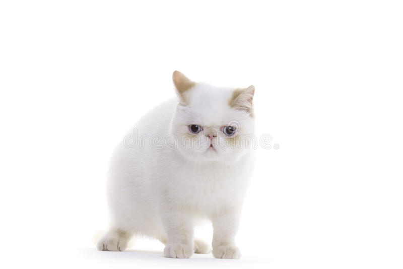 Gato, Shorthair exótico imagens de stock