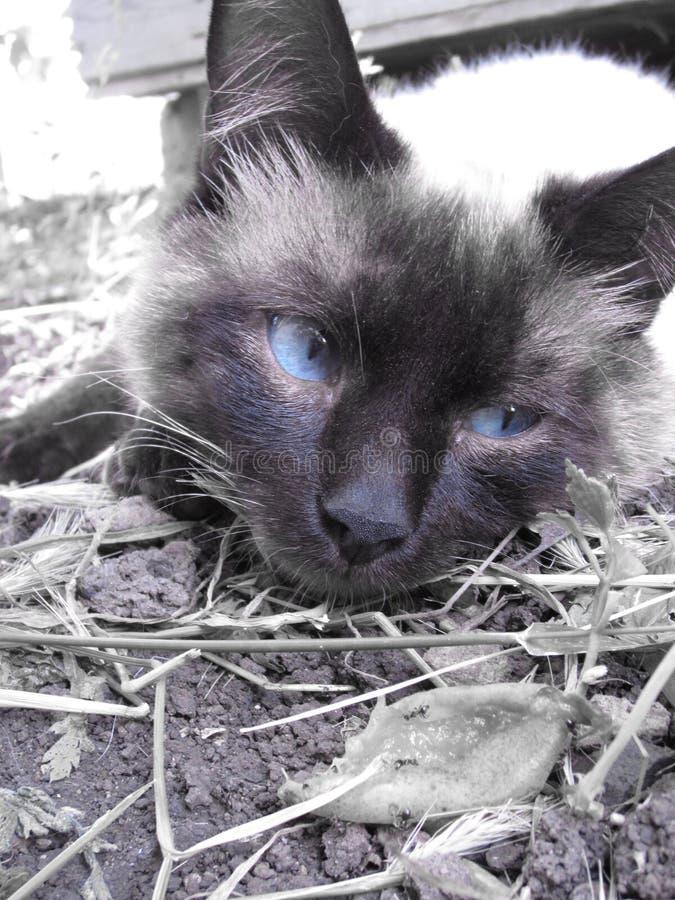 Gato siamés imagen de archivo libre de regalías