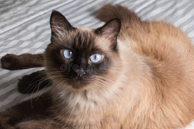 Gato siamés gordo imagenes de archivo