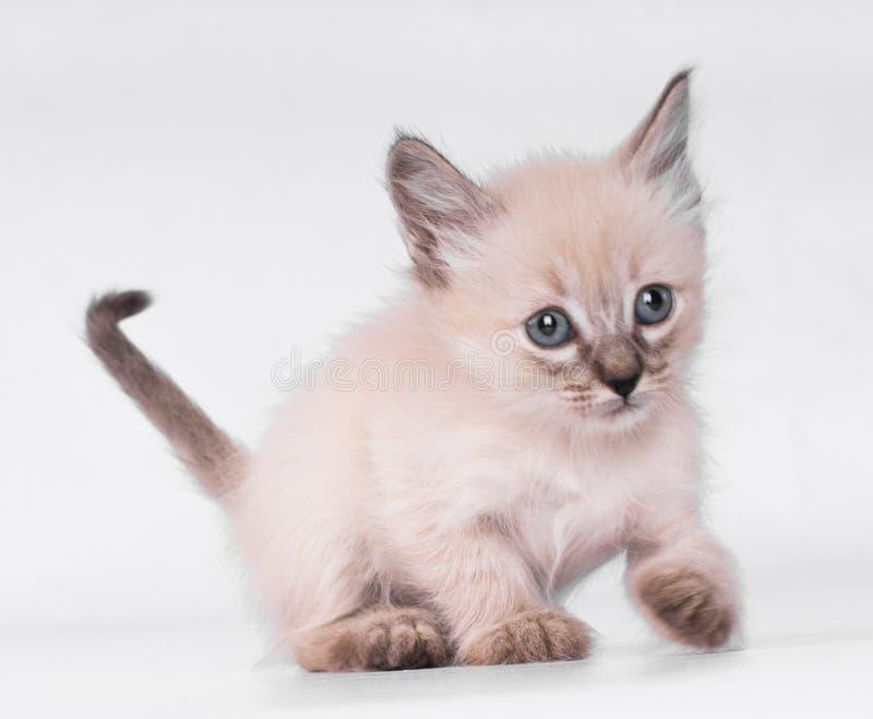 Gato siamés gris con jugar de los ojos del bñue aislado en el fondo blanco imagen de archivo