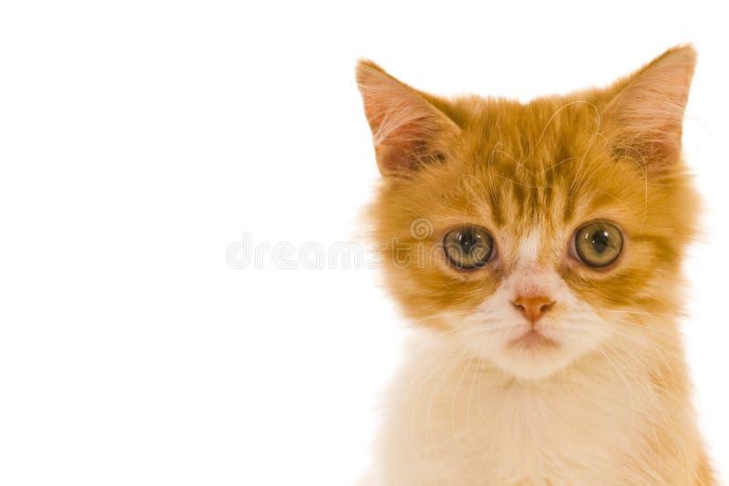 Gato siamés lindo foto de archivo