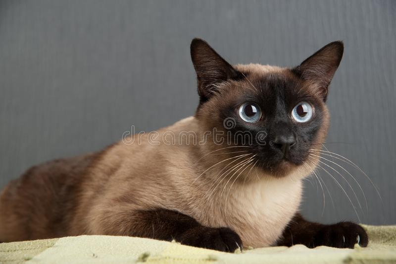 Gato siam?s que mira la c?mara fotos de archivo libres de regalías
