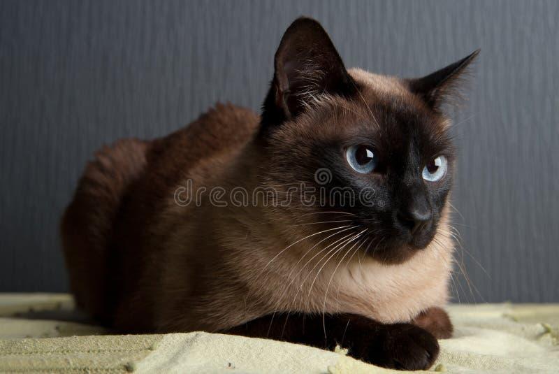 Gato siam?s que mira la c?mara foto de archivo libre de regalías