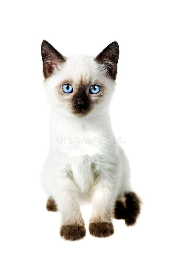 Gato Siamese imagens de stock royalty free