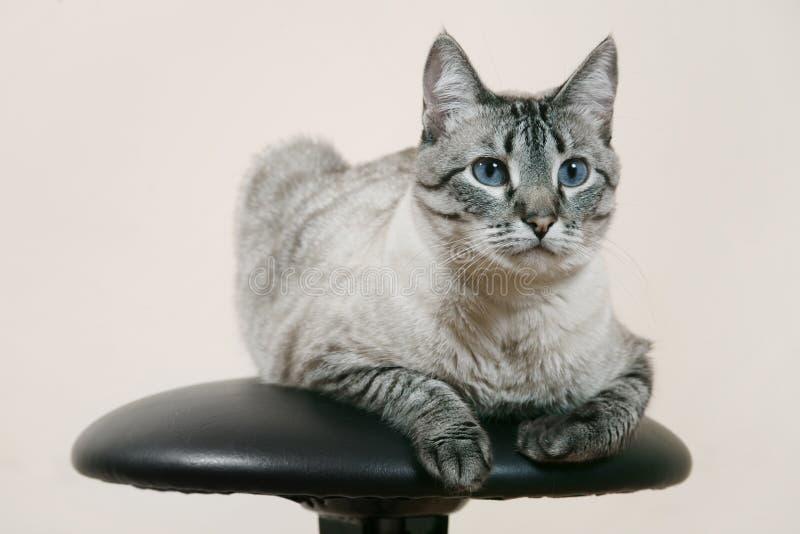 Gato Siamese fotografia de stock royalty free