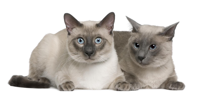 Gato Siamese, 3 anos velhos e 8 meses velho, encontrando-se imagem de stock