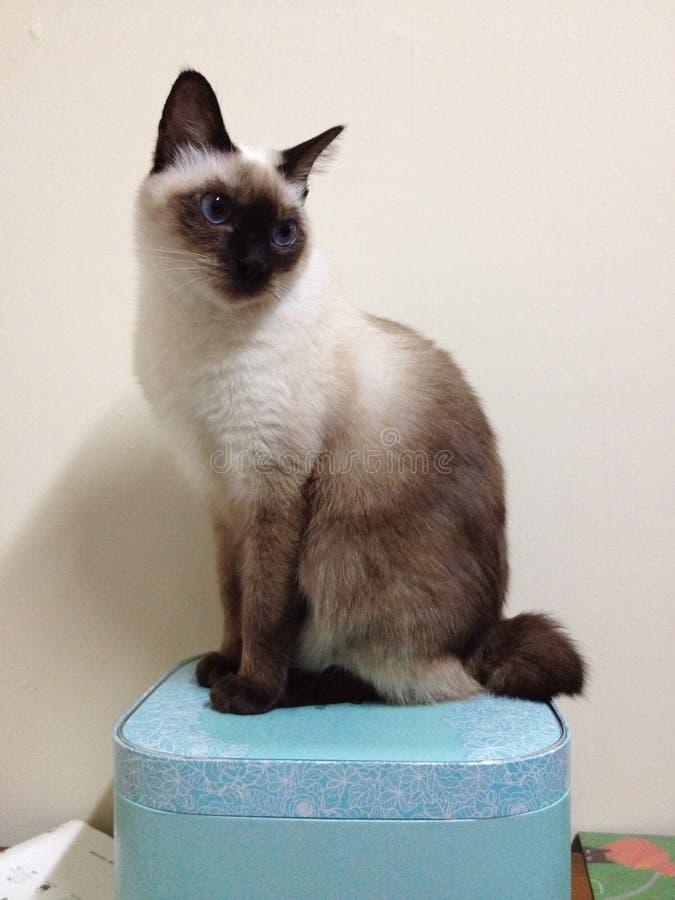 Gato Siamese imagem de stock
