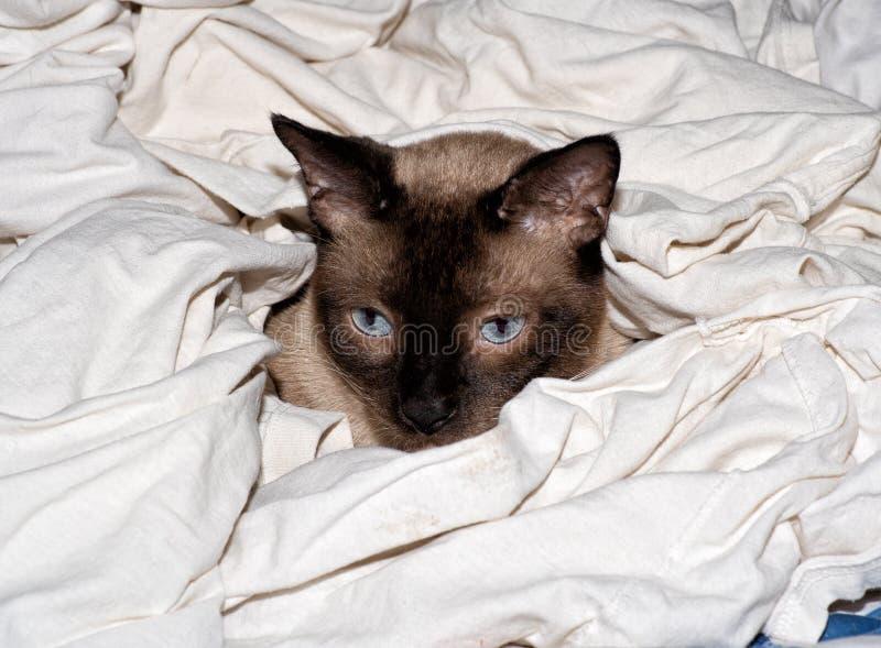 Gato Siamese do ponto do chocolate em uma pilha recentemente lavada das camisas brancas fotografia de stock