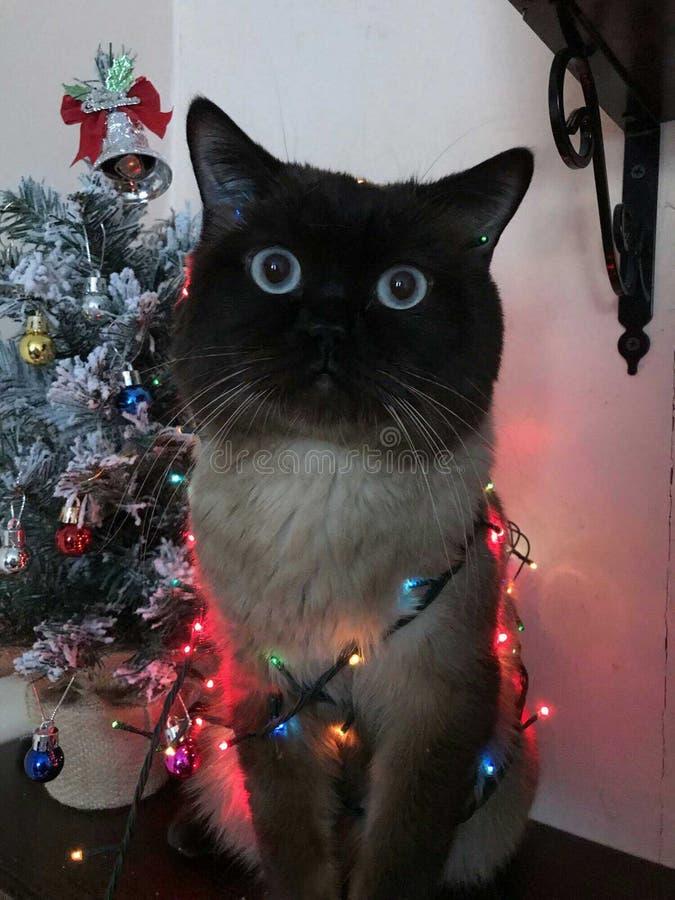 Gato Siamese envolvido em uma festão no fundo de árvores de Natal imagem de stock