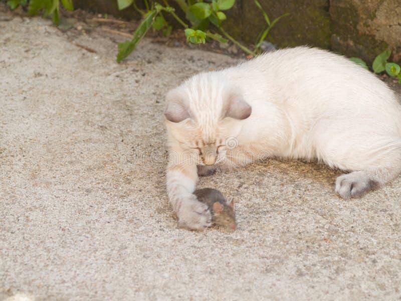 Gato Siamese que caça o rato um pouco de cinzento em uma exploração agrícola imagem de stock