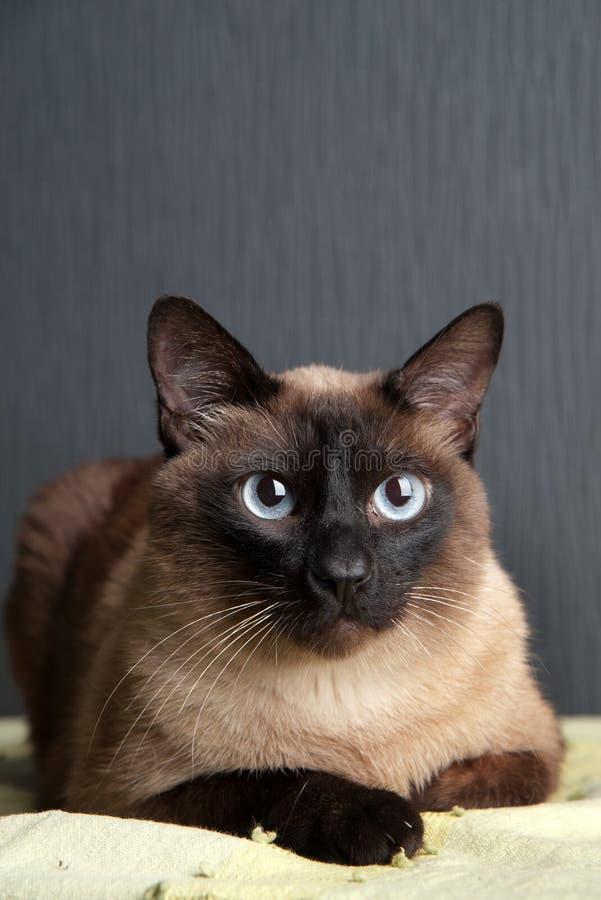 Gato Siamese que olha a c?mera fotos de stock royalty free