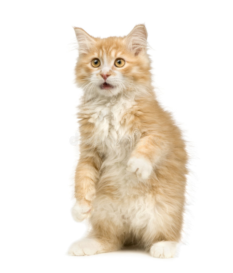 Gato Siberian (12 semanas) fotografia de stock