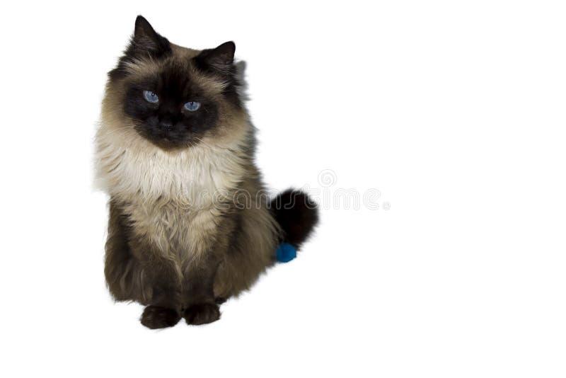 Gato Siberian imagem de stock royalty free