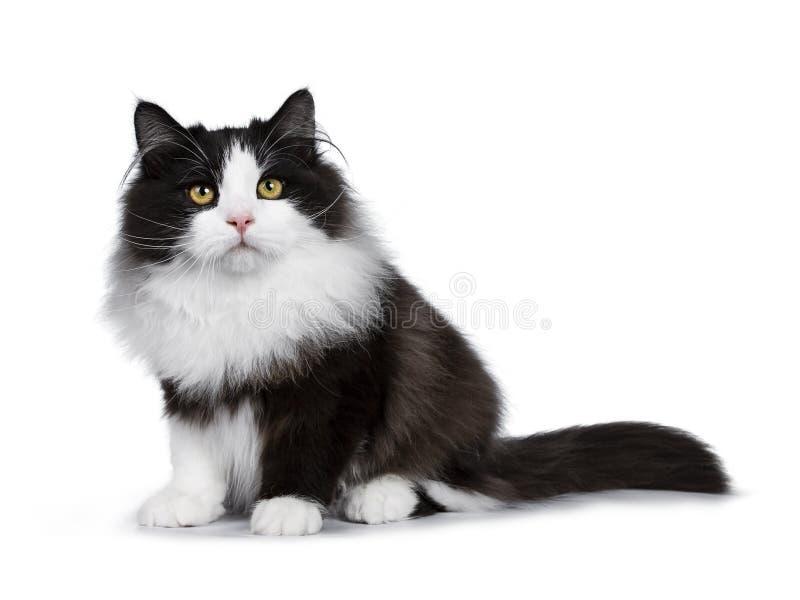 Gato Siberian do fumo preto adorável isolado no fundo branco fotos de stock royalty free