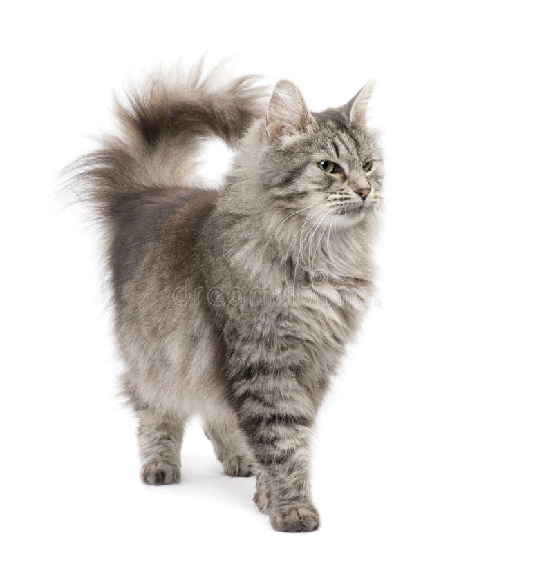 Gato Siberian do híbrido e gato persa imagens de stock royalty free