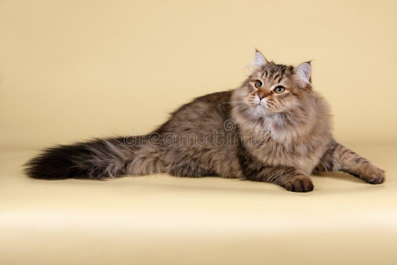 Gato Siberian em fundos coloridos foto de stock