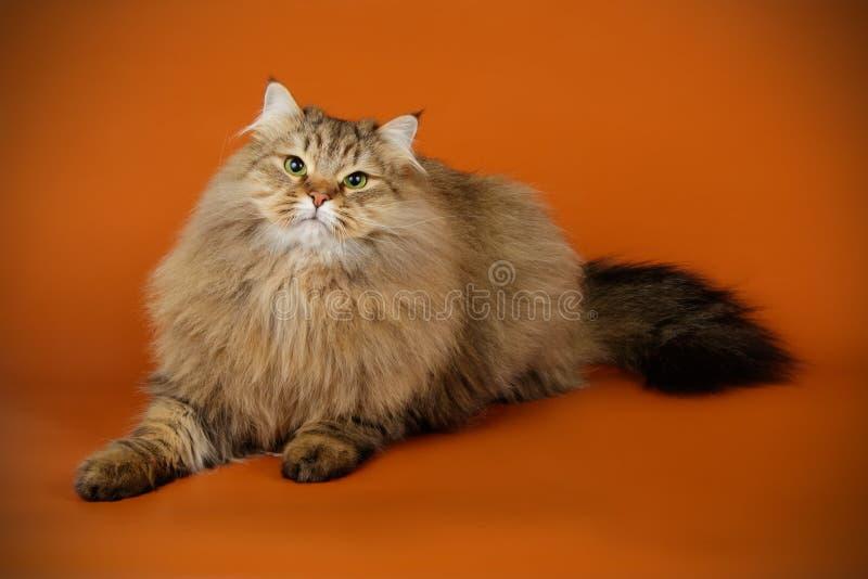 Gato Siberian em fundos coloridos foto de stock royalty free