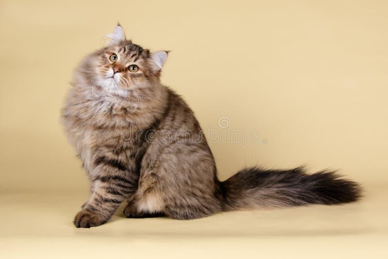 Gato Siberian em fundos coloridos imagem de stock royalty free