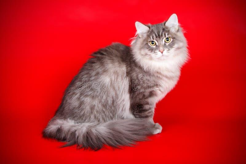 Gato Siberian em fundos coloridos imagens de stock royalty free