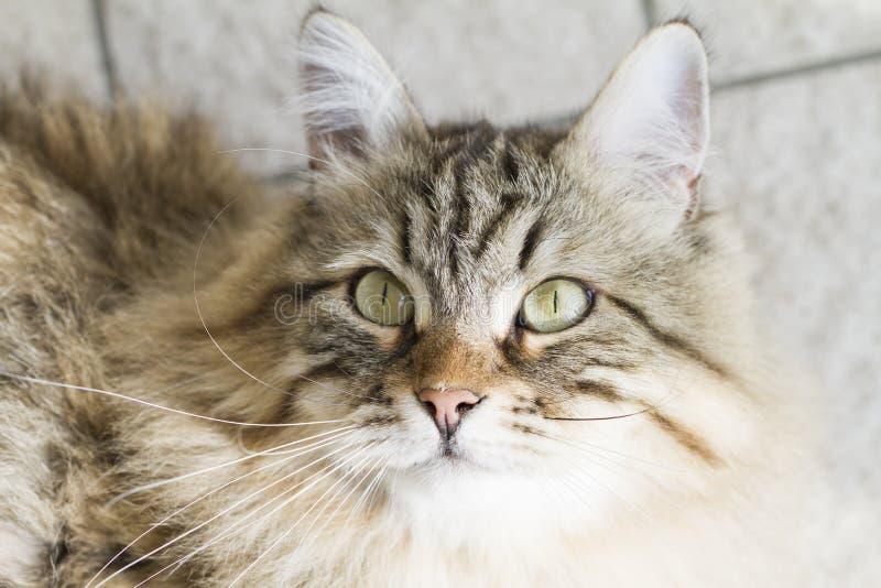 Download Gato Siberian Marrom Adorável Que Olha Acima Foto de Stock - Imagem de adorable, olhos: 80101570