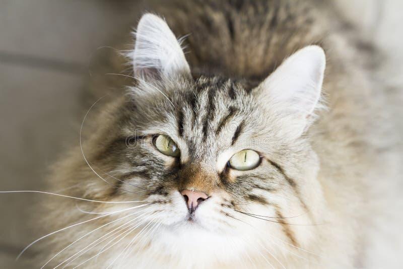 Download Gato Siberian Marrom Adorável Que Olha Acima Foto de Stock - Imagem de adorable, jardim: 80101762