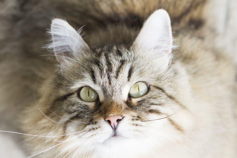 Download Gato Siberian Marrom Adorável Que Olha Acima Foto de Stock - Imagem de kitty, longo: 80102102